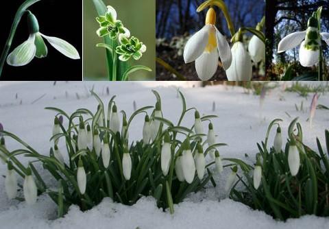 2009-02-05-sneeuwklokjes