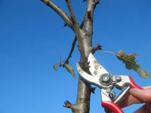 snoeien-hoogstamfruitbomen