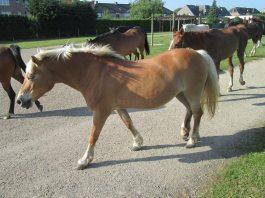 2014-05-19-losgelaten-paarden_03