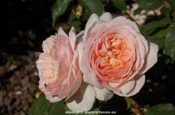 2014-06-06-Rozentuin_Coloma_Sint-Pieters-Leeuw_05