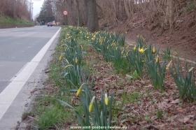 2015-03-22-narcissen-pracht-in-Sint-Pieters-Leeuw_02