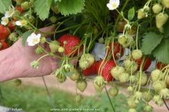 2016-05-16-aardbeienkweker_Vlezenbeek_03
