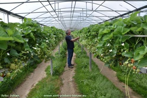 2016-05-16-aardbeienkweker_Vlezenbeek_05