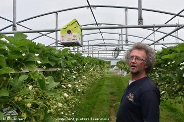 Per serre zorgen 50 hommels voor de bestuiving van de aardbeiplantjes