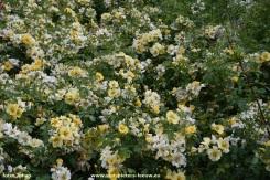 2017-06-09-VISmandel_Rosa-Coloma_Roos (2)