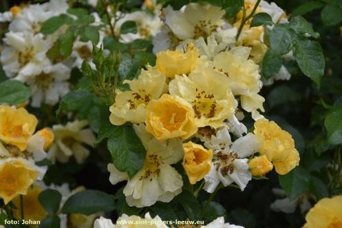 2017-06-09-VISmandel_Rosa-Coloma_Roos (6)