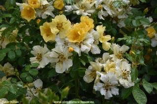 2017-06-09-VISmandel_Rosa-Coloma_Roos (8)