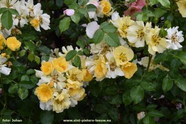 2017-06-09-VISmandel_Rosa-Coloma_Roos (9b)